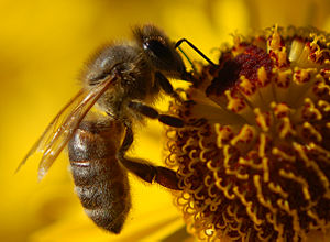 Worker bee on Pa's Sunflowers, Backgarden, Sep...