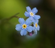 Forget-me-not2-cropped