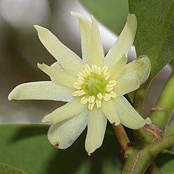 Illicium Anisatum Wikipedia
