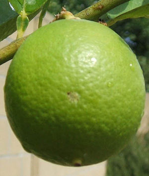 Key lime on the branch.