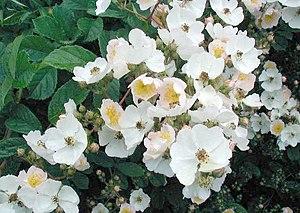 Rosa multiflora, flower of January 2