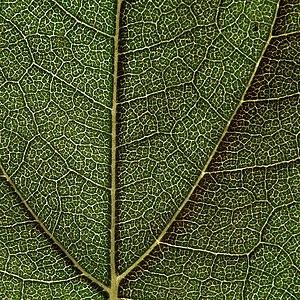 English: Structure of sunflower's leaf. Česky:...