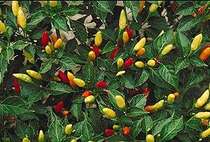 Capsicum frutescens