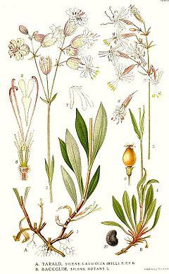Silene vulgaris  Wikipedia la enciclopedia libre