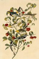 Audubon's Dendroica