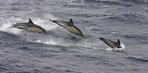 Common Dolphins in the Goban Spur South of Ire...