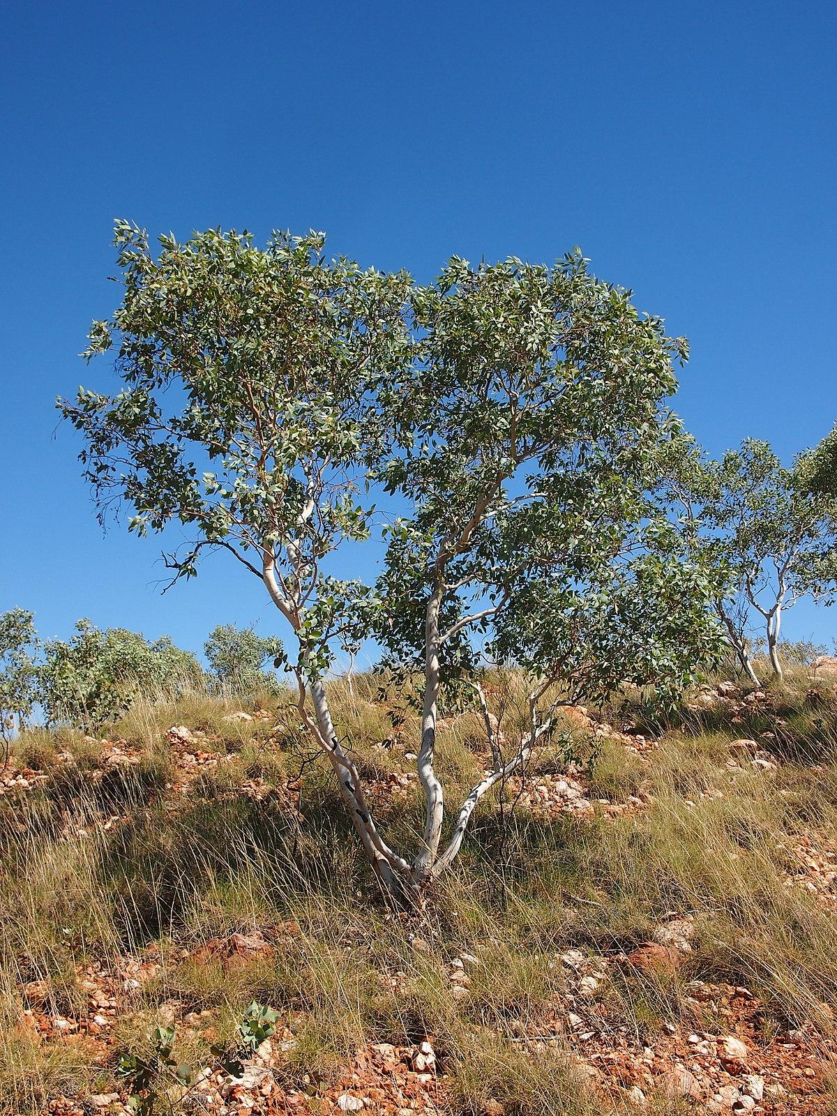 Eucalyptus Leucophloia Wikipedia