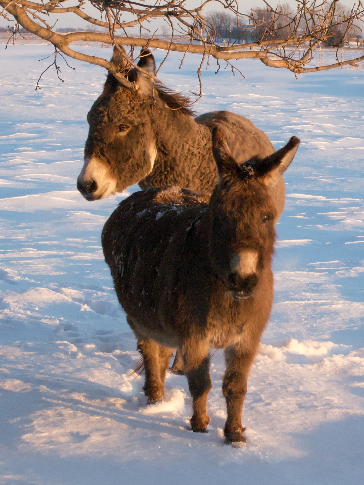 North American Donkeys Wikipedia