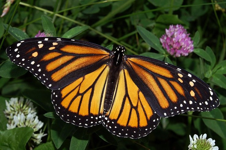 File:Monarch In May.jpg