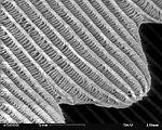 SEM image of a Peacock wing, slant view 4.JPG