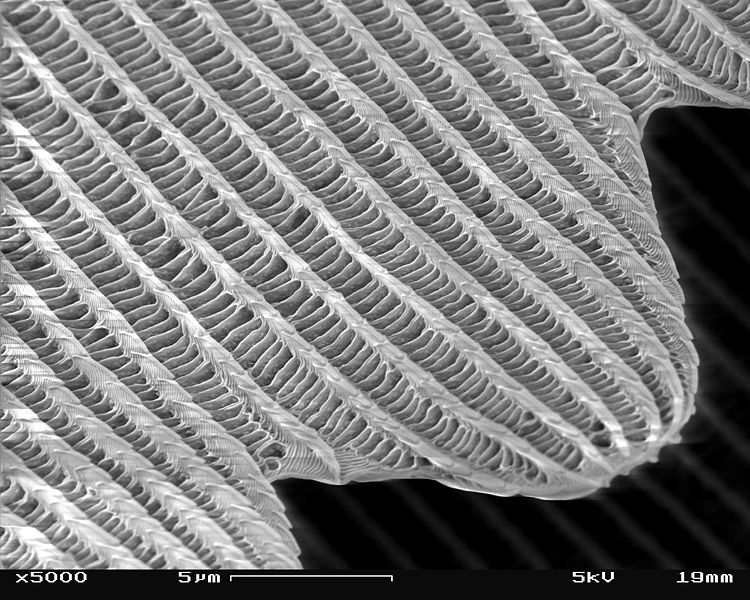 File:SEM image of a Peacock wing, slant view 4.JPG