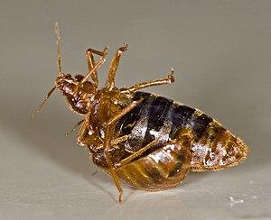 One bedbug (Cimex lectularius) traumatically i...