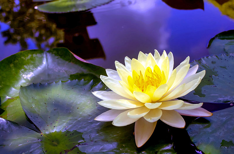 Water Lilies Pond Care