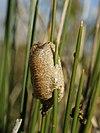 Mantis religiosa (egg case).jpg