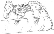 Wiring Diagram: 29 Opossum Skeleton Diagram