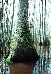 Nyssa aquatica  Wikipedia