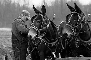 This pair of mules were working a plowing exhi...