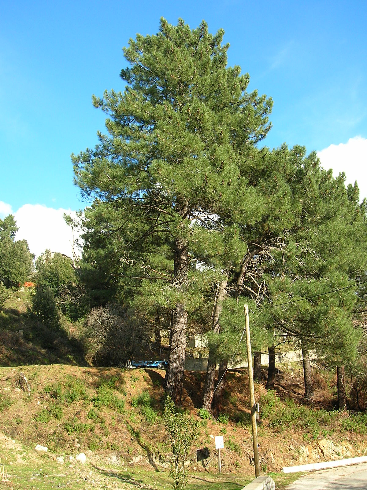 Pinus pinaster  Biquipedia a enciclopedia libre