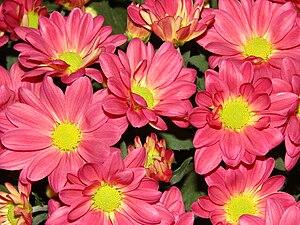 Chrysanthemum, haiku, carpe diem challenge, beauty, nature, inspiration