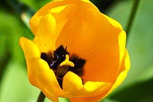 Yellow tulips Deutsch: Gelbe Tulpen