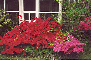 Azaleas, 50-years old as of 2003, in Luthervil...