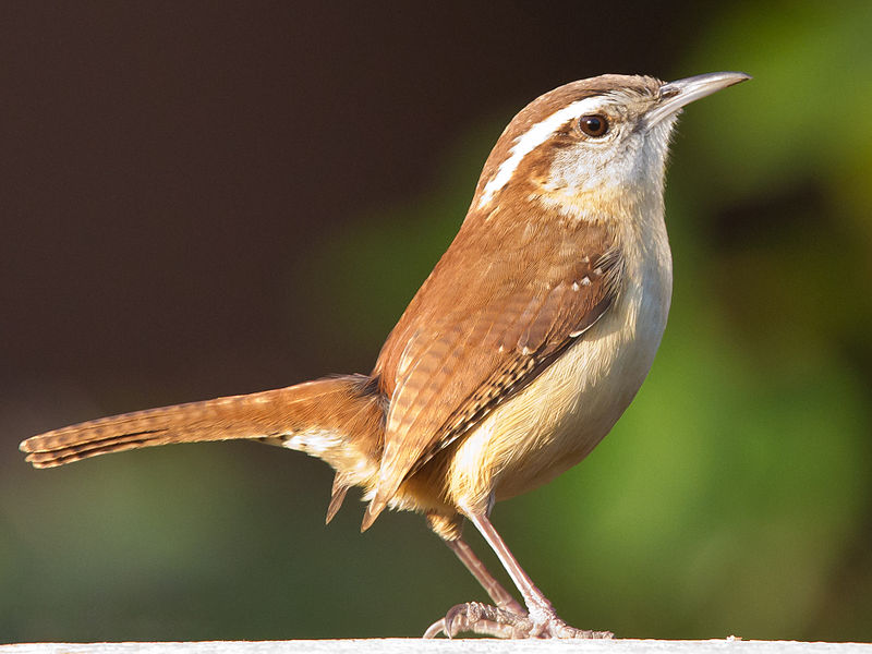 File:Carolina Wren1.jpg