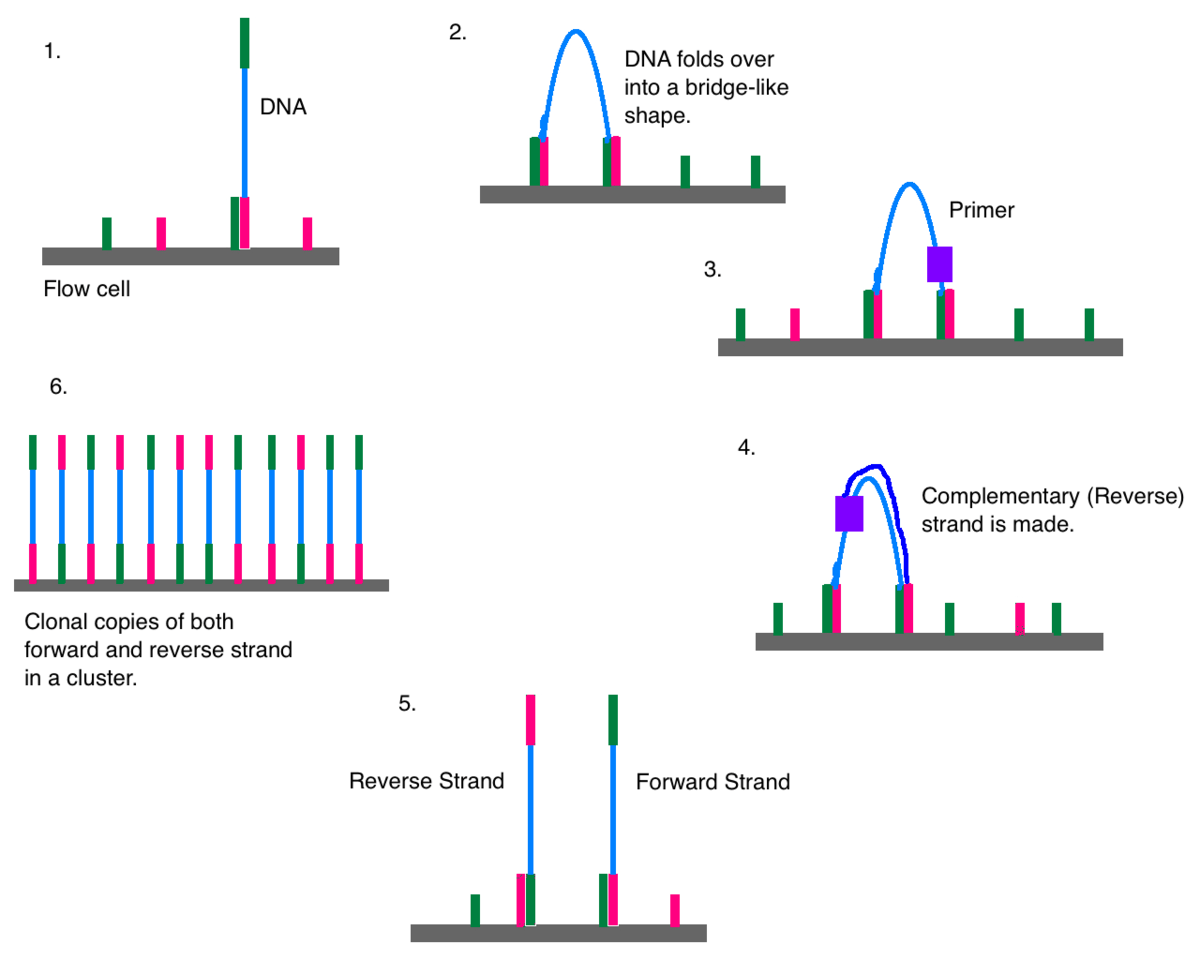 polymerase chain reaction diagram when to use sequence illumina dye sequencing wikipedia