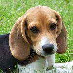 File Cute Beagle Puppy Lilly Jpg Wikimedia Commons