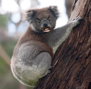 Australian drop bear
