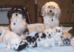 My two dogs' litter of seven havanese puppies....