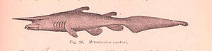 An early illustration of a goblin shark