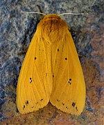 https://i0.wp.com/upload.wikimedia.org/wikipedia/commons/thumb/6/65/Pyrrharctia_isabella.jpg/150px-Pyrrharctia_isabella.jpg