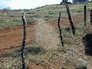 Salsola tragus, dry