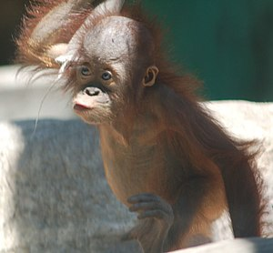 English: A young orangutan at the Toledo Zoo i...