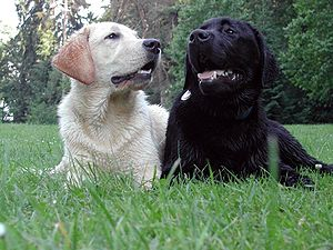Image result for labrador retriever hunting