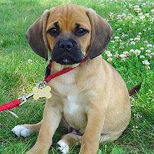220px BraxtonPuggle edit1 Dog 101 Pitbull Animal Planet
