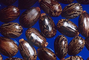 Carunculate seed of Ricinus communis (Castor b...