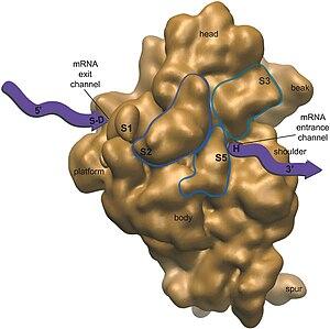 Chloroplast ribosome + Predicted Location of C...