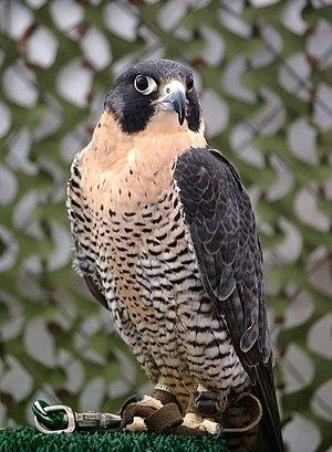 A Peregrine Falcon (Falco peregrinus) at the b...