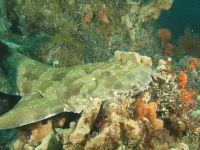 carpet shark - Wiktionary