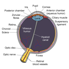 Structure Of Human Eye With Diagram John Deere 40 Wiring Lens Anatomy Wikipedia