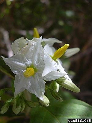 Flowers of Solanum torvum