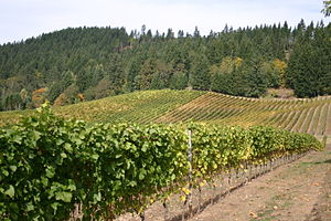 Vineyard in the Oregon wine region of Willamet...