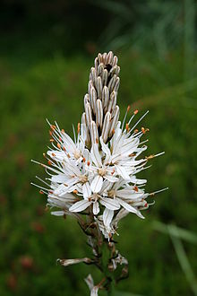 Asphodelus albus  Wikipedia la enciclopedia libre