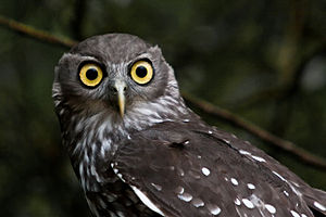 The Barking Owl or Winking Owl (Ninox conniven...