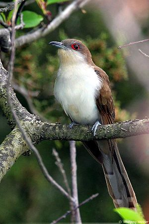 Black-Billed Cuckoo / Coccyzus erythropthalmus
