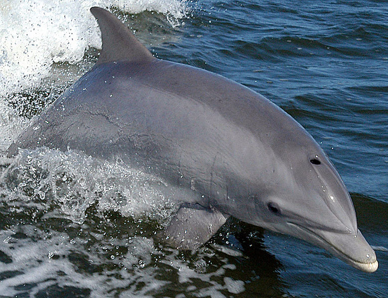 File:Bottlenose Dolphin KSC04pd0178 (cropped).jpg