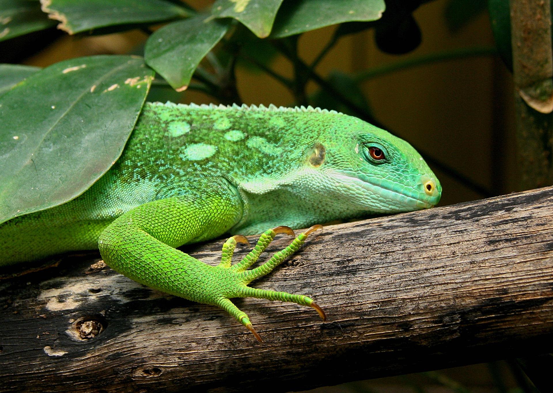 Brachylophus  Wikipdia