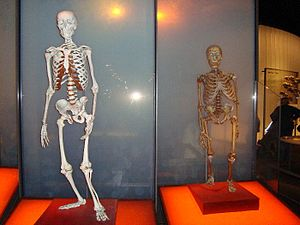 English: neanderthal modern human comparison