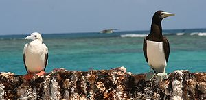 Red-footed Booby (Sula sula) and Brown Booby (...